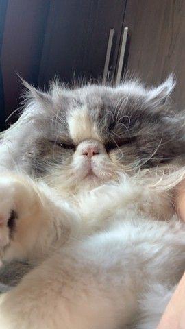 Gato Persa procura namorada  - Foto 5