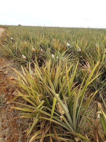 Muda de abacaxi pérola  - Foto 4
