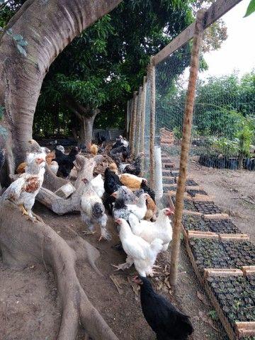 Promoção galinha *18 ZAP  - Foto 5