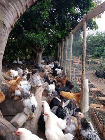 Promoção galinha *18 ZAP  - Foto 2