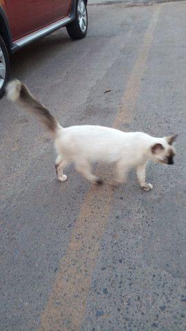 Doação de lindas gatas já castradas - Foto 3