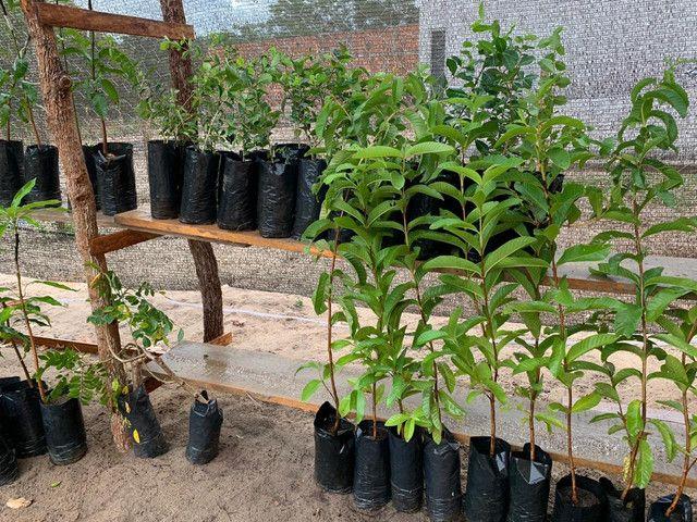 Mudas de frutíferas brejinho caxias - Foto 6