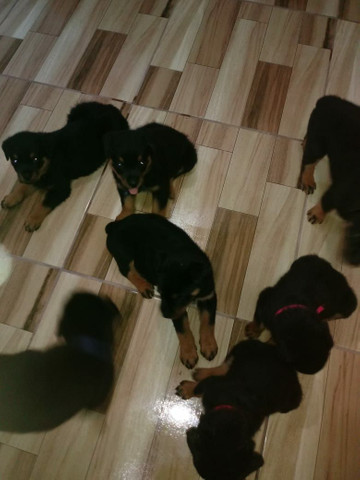 Vendo cachorros da raça rotwalle - Foto 3