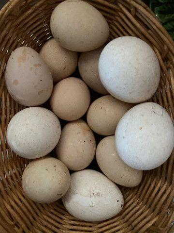 9 Ovos de galinhola galados e 4 ovos de peru galados