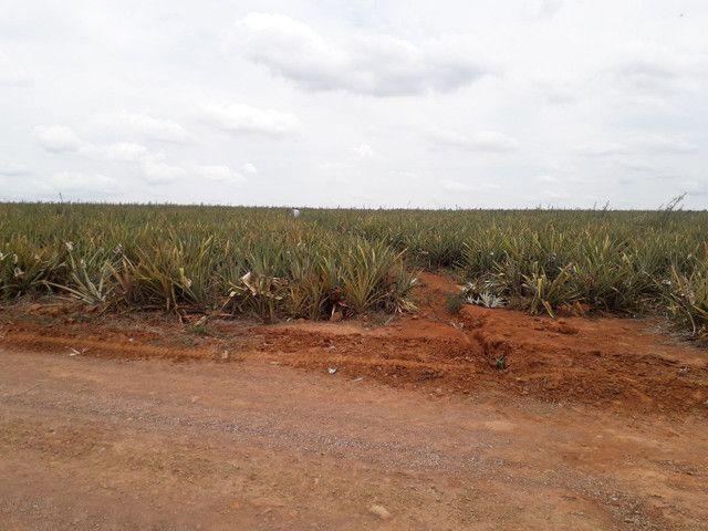 Muda de abacaxi pérola  - Foto 6