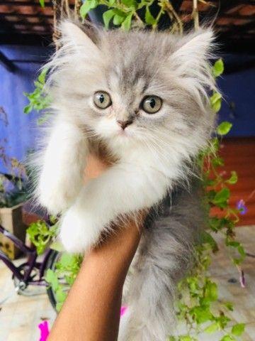 Filhotes de gato persa macho com pedigree  - Foto 2