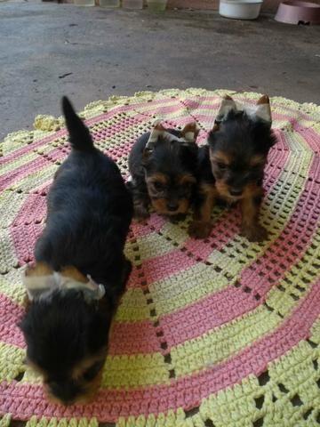 Vendo Filhote yorkshire Terrier - Foto 6