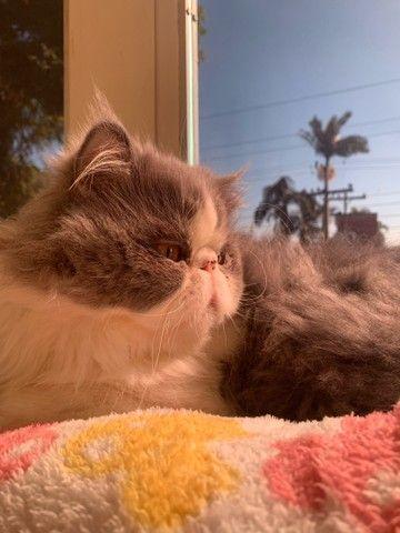 Gato Persa procura namorada  - Foto 6