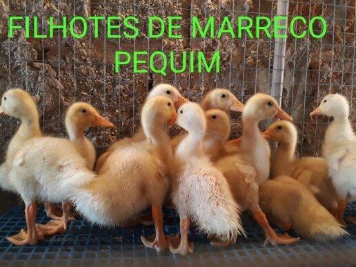 Filhotes 10 uni.por 100 reais - Foto 3