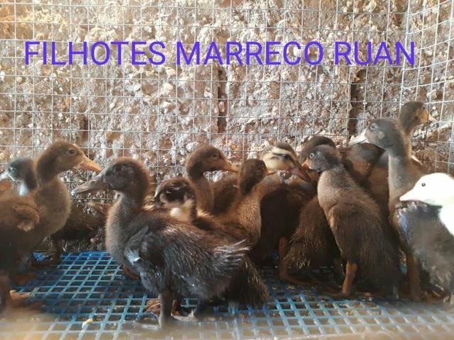 Filhotes 10 uni.por 100 reais - Foto 4