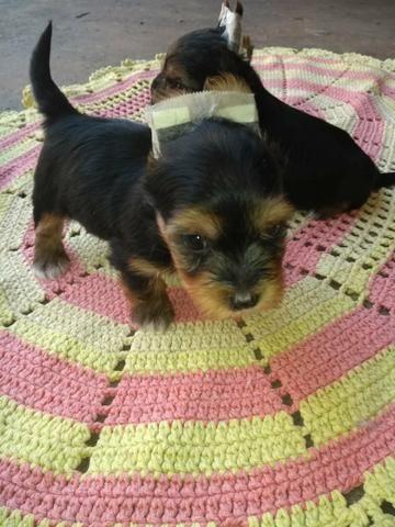Vendo Filhote yorkshire Terrier - Foto 5