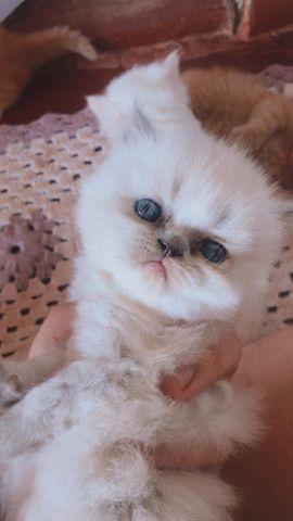 Filhotes de Gato Persa - Foto 2