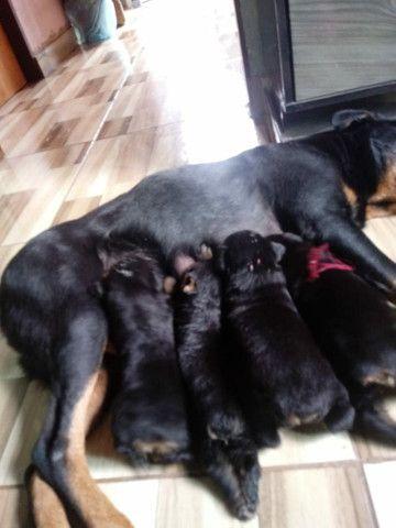 Vendo cachorros da raça rotwalle - Foto 2