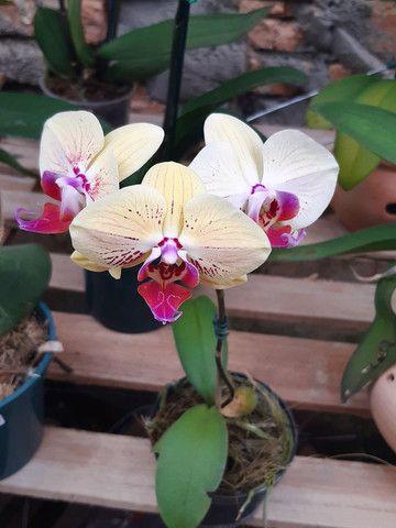 Orquídeas  - Foto 2