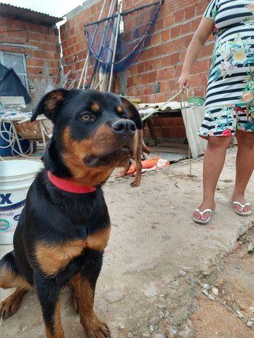 vendo Rottweiler fêmea - Foto 3
