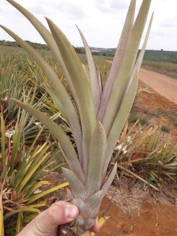 Muda de abacaxi pérola  - Foto 2