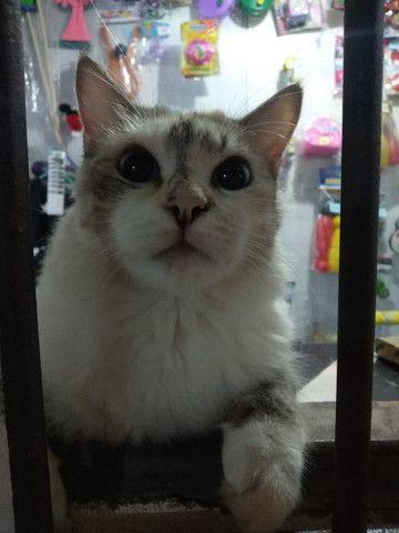 Maria,gata para adoção responsavel - Foto 3