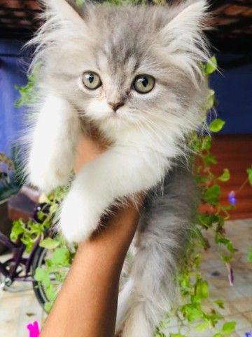 Filhotes de gato persa macho com pedigree  - Foto 4