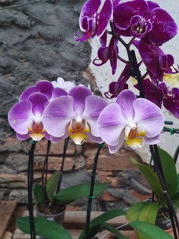 Orquídeas  - Foto 4