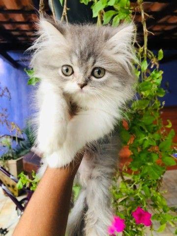 Filhotes de gato persa macho com pedigree  - Foto 6