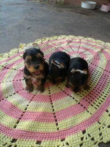 Vendo Filhote yorkshire Terrier - Foto 3