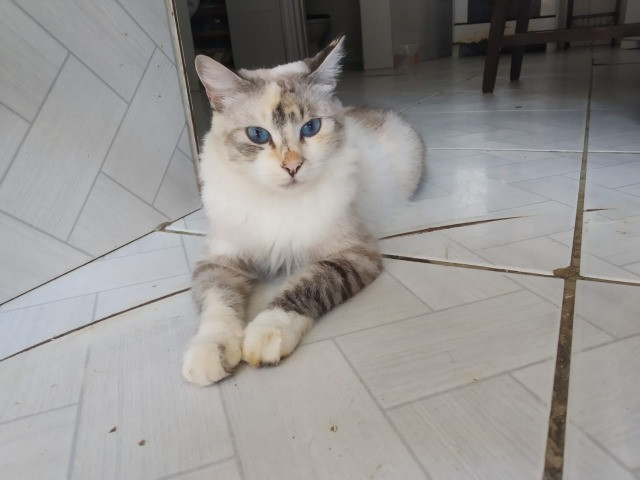 Maria,gata para adoção responsavel - Foto 2