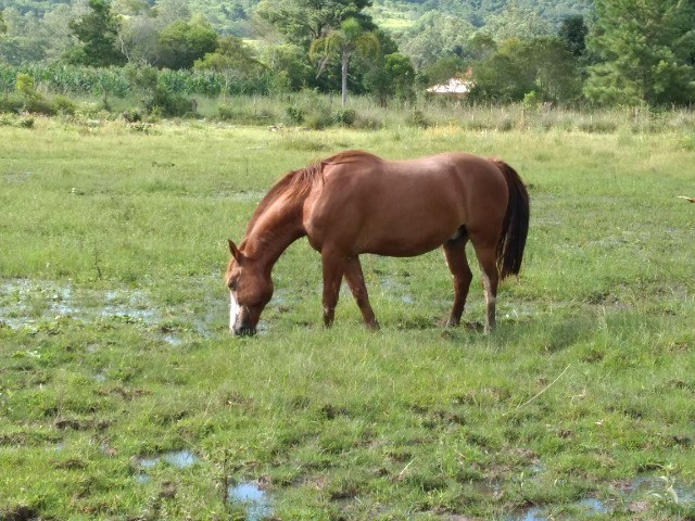 Cavalo crioulo  - Foto 3