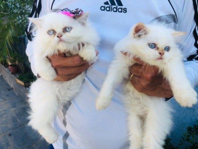 Filhotes de gato persa macho com pedigree