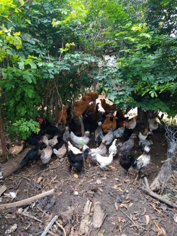 Promoção galinha *18 ZAP  - Foto 3
