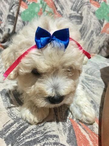 Fêmea Poodle