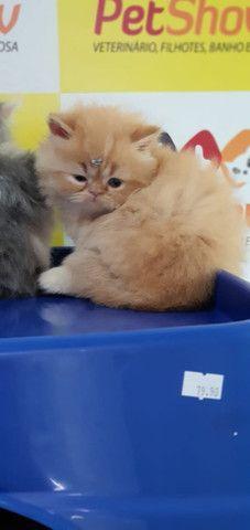 Gato PErsa Creme - Foto 2