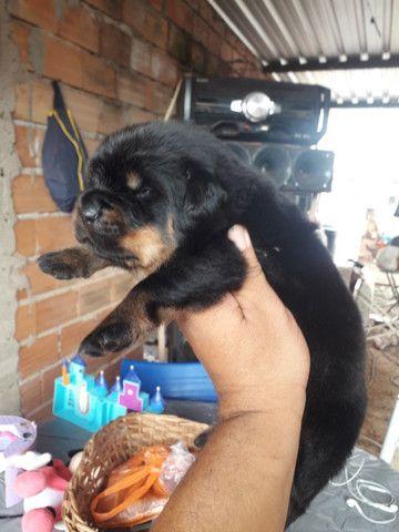 Rottweiler padrão alemão Araraquara watts * - Foto 2