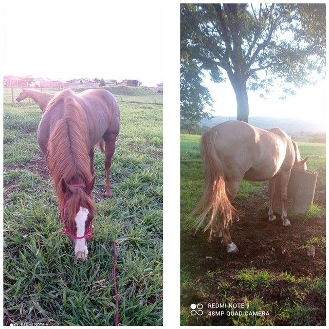 Égua meio sangue - Foto 2