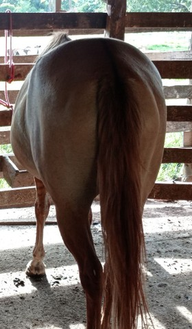 Égua meio sangue - Foto 3