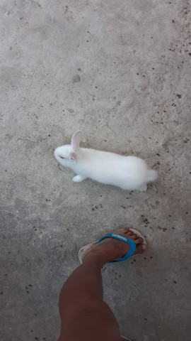 Vendo casal de coelhos e um  filhote. - Foto 3