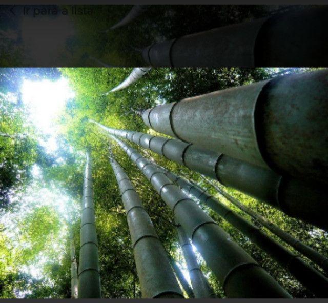 Bambú gigante - Foto 4