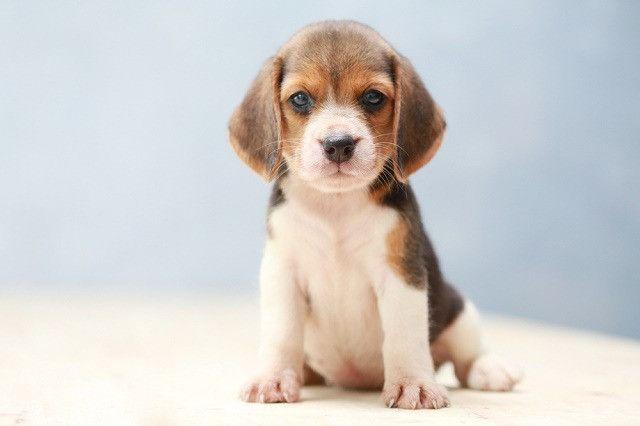 Beagle lindinhos filhotes