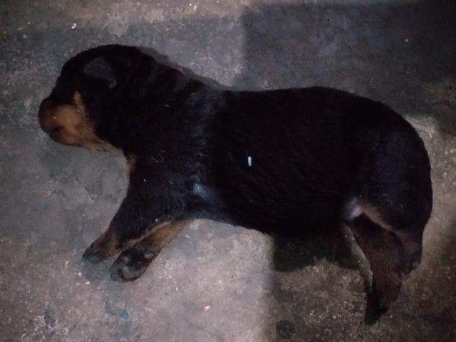 Filhote de rottweiler - Foto 2