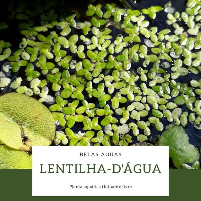 Lentilha d'água / Lemna Minor - Foto 2