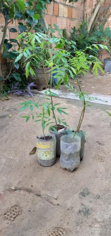Vendo muda de cajarana