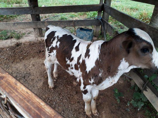 Vacas de leite - Foto 4