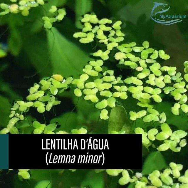 Lentilha d'água / Lemna Minor - Foto 5