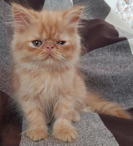 Gato persa red tabby macho gatos bangu rio de janeiro for Red transparente para gatos