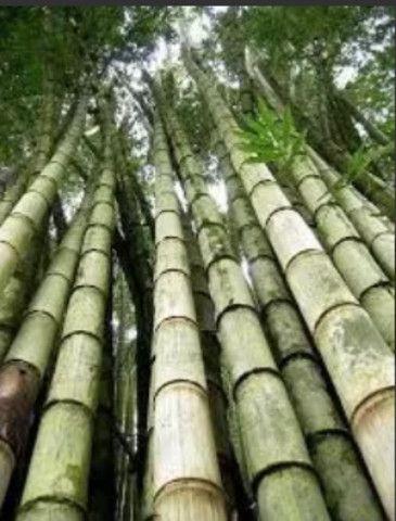 Bambú gigante - Foto 2