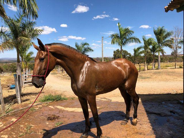 Égua Campolina  - Foto 4
