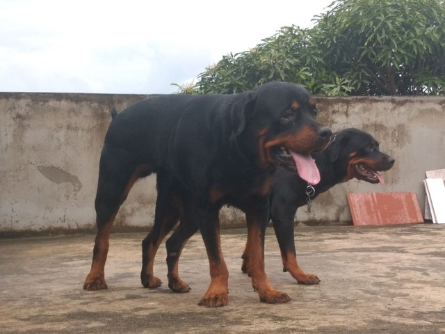 Rottweiler para cruzar - Foto 4