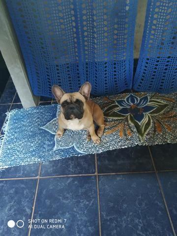 Bulldog francês - Foto 5