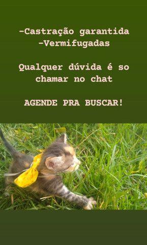 Doação de gatinhas - Foto 6