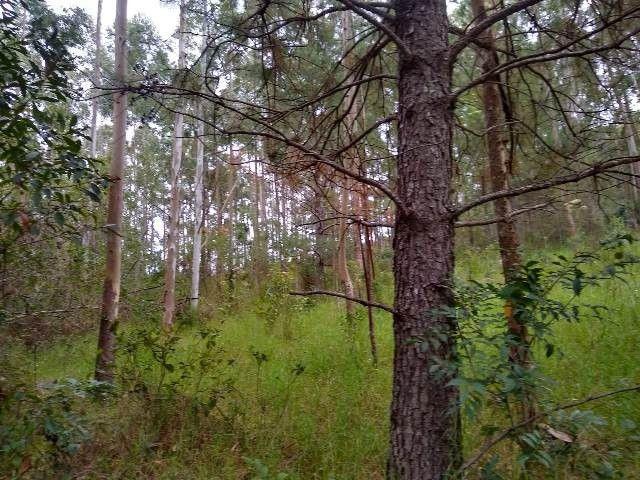 Área de terras com eucalipto, bom acesso, Fraga Caraá - Foto 9