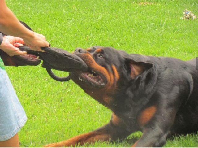 Filhotes macho de Rottweiler - Foto 3
